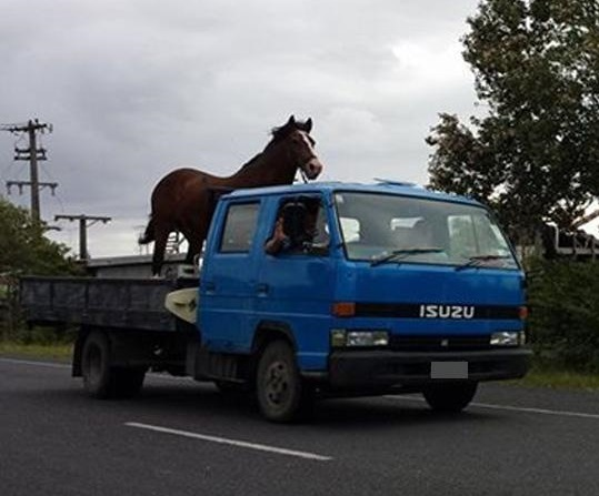horse-on-truck-in-northland