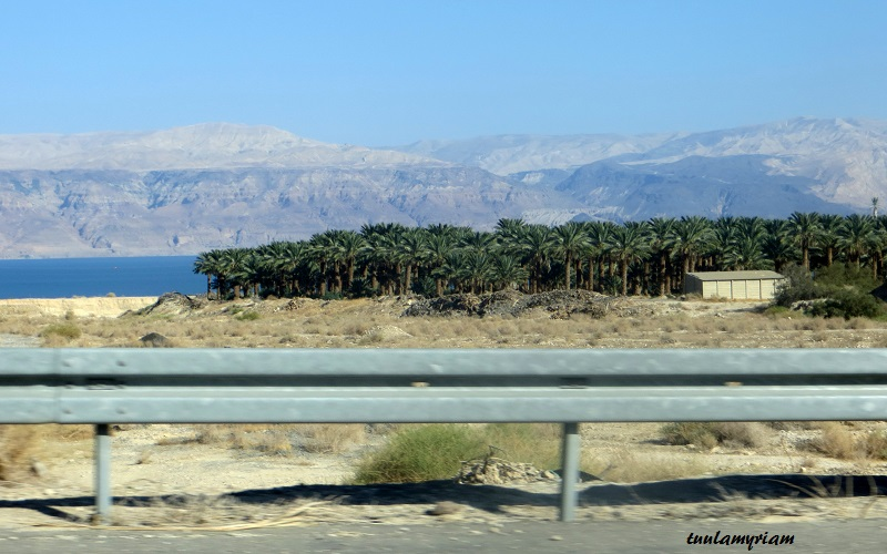 Täältä tulevat herkullisen makeat ja pehmeät taatelit, joita saa ostaa tuoreena Israelin marketeista ja kaupoista.